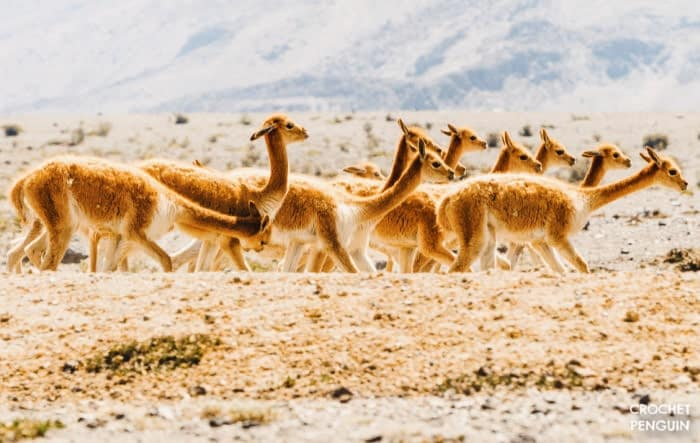 Vicuna - Most Expensive Yarn CROP